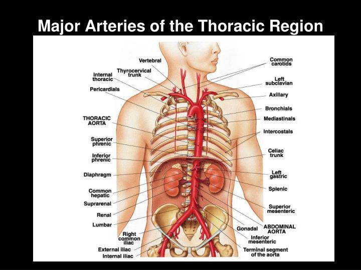 Major Arteries of the Thoracic Region