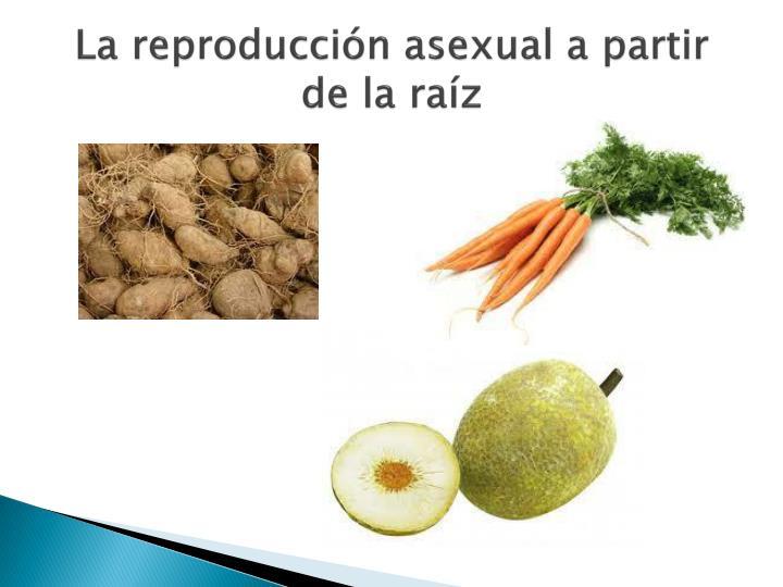 La reproducción asexual a partir de la raíz