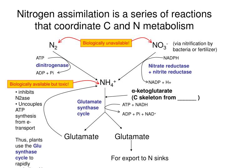Nitrogen assimilation is a series of reactions that coordinate C and N metabolism