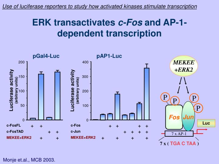 Use of luciferase reporters to study how activated kinases stimulate transcription