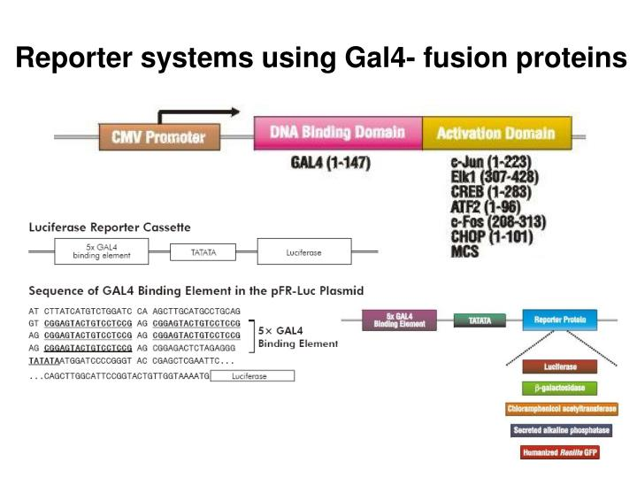 Reporter systems using Gal4- fusion proteins