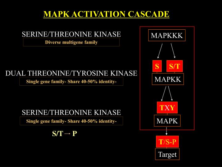 MAPK ACTIVATION CASCADE