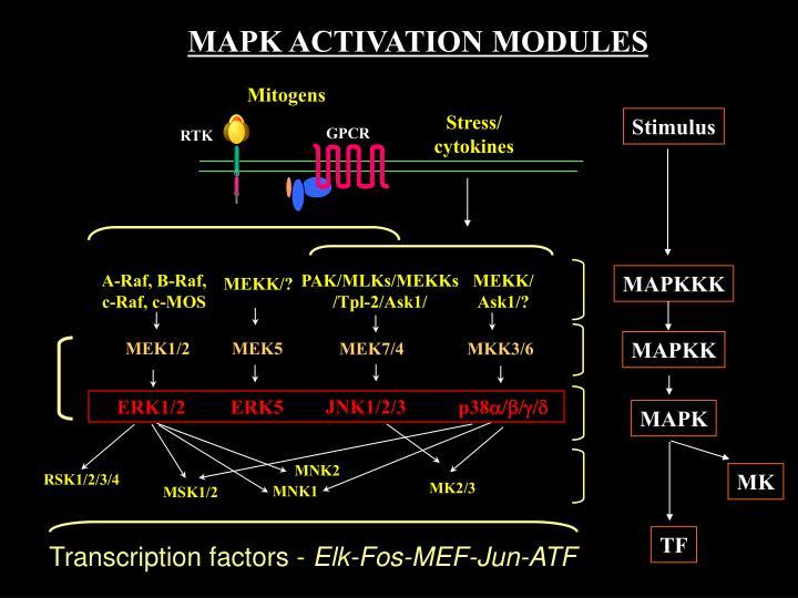 MAPK ACTIVATION