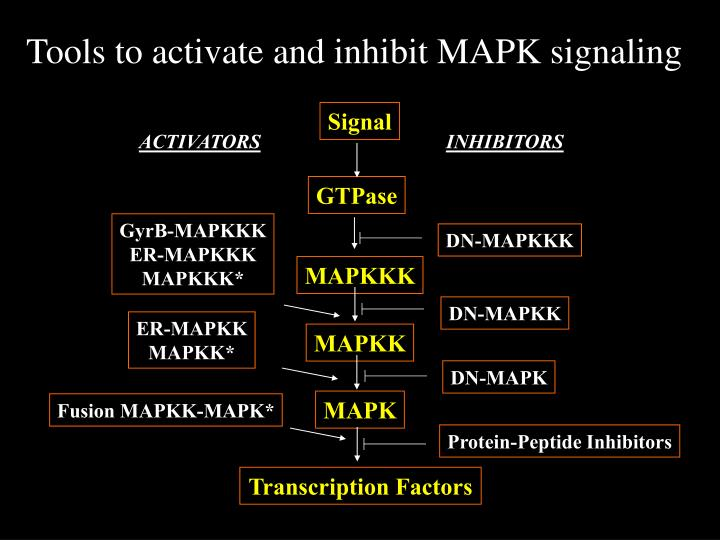 Tools to activate and inhibit MAPK signaling