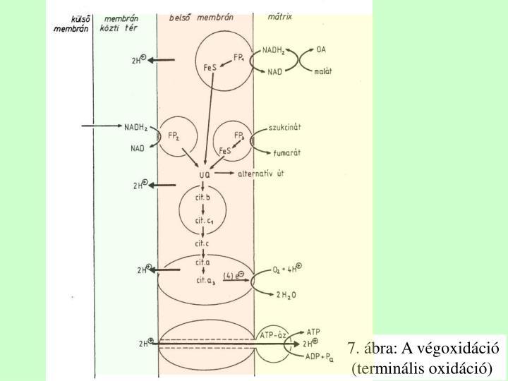 7. ábra: A végoxidáció