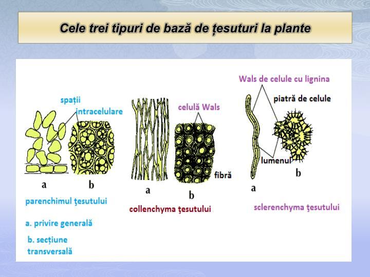 Cele trei tipuri de bază de țesuturi la plante