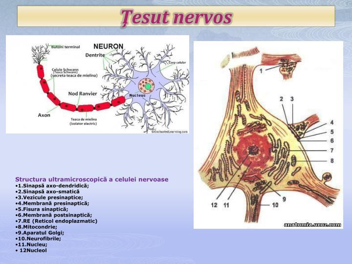 Ţesut nervos
