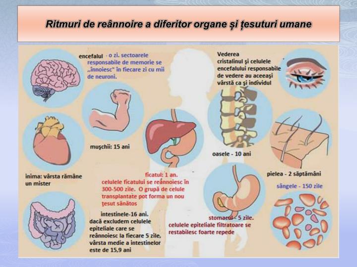 Ritmuri de reânnoire a diferitor organe și țesuturi umane