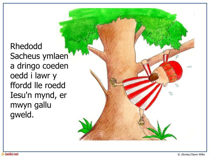 Rhedodd Sacheus ymlaen a dringo coeden oedd i lawr y ffordd lle roedd Iesu'n mynd, er mwyn gallu gweld.