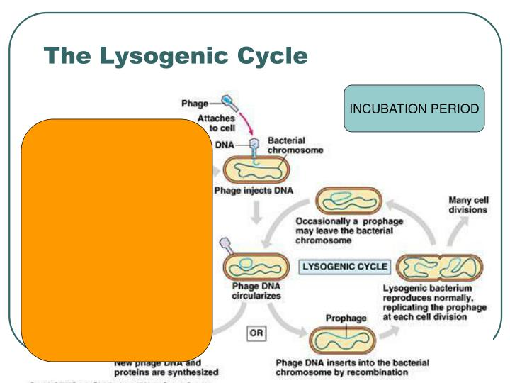 The Lysogenic Cycle