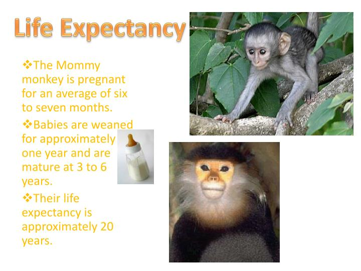 Ppt colobine monkeys powerpoint presentation id 2926772 for Life expectancy of mattress