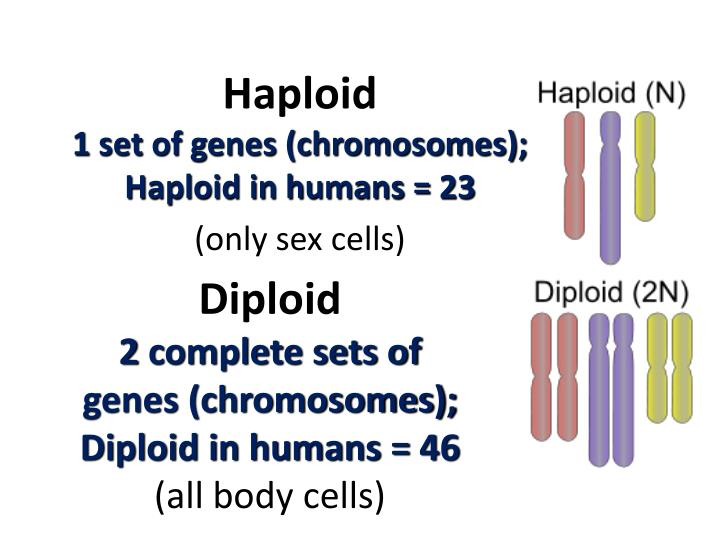 Diploid 2 complete sets of genes chromosomes diploid in humans 46 all body cells