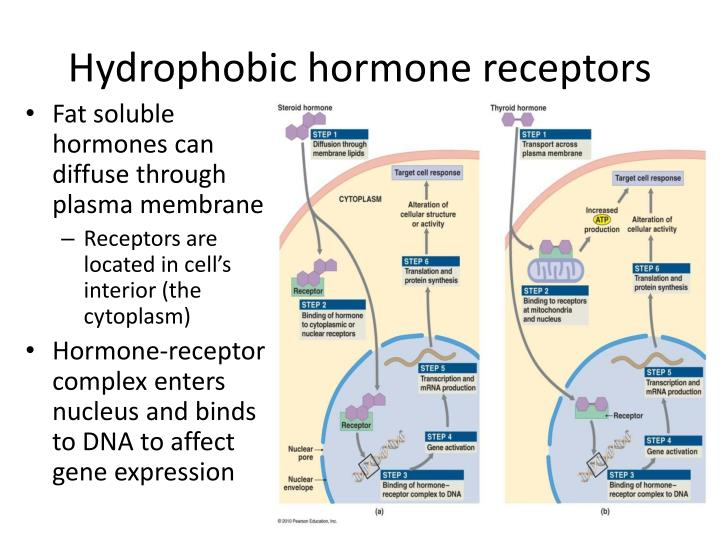 Hydrophobic hormone receptors