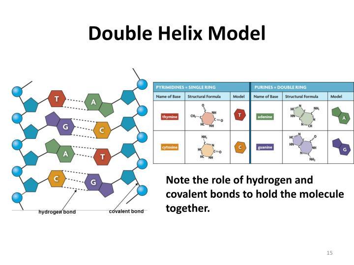 Double Helix Model