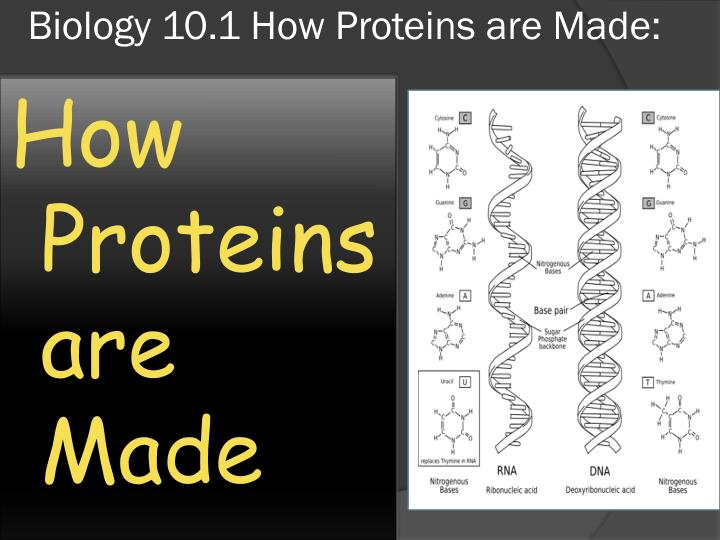 Biology 10.1 How Proteins are Made:
