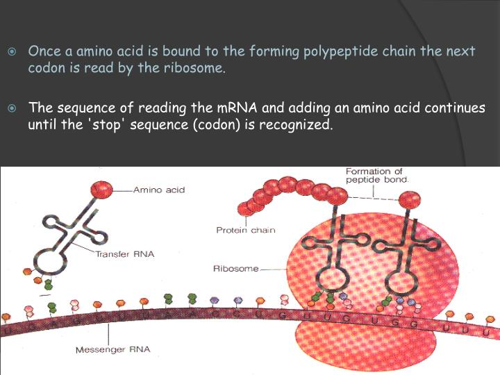 Once a amino acid is bound to the forming polypeptide chain the next codon is read by the ribosome.