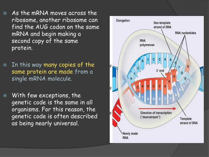 As the mRNA moves across the ribosome, another ribosome can find the AUG codon on the same mRNA and begin making a second copy of the same protein.
