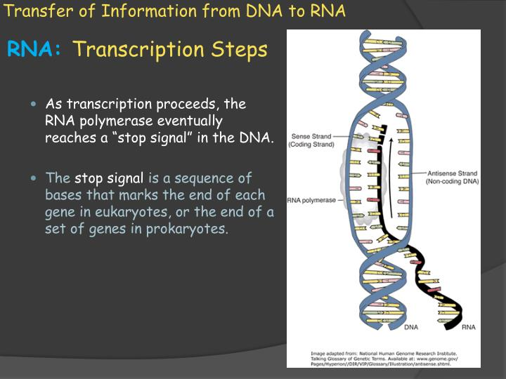 Transfer of Information from DNA to RNA