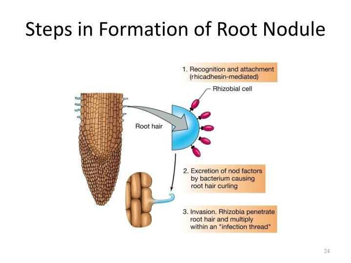 Steps in Formation of Root Nodule