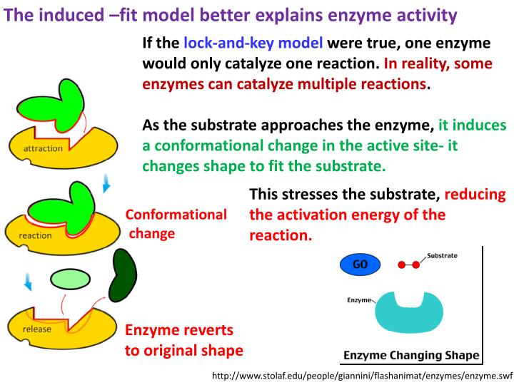 The induced –fit model better explains enzyme activity