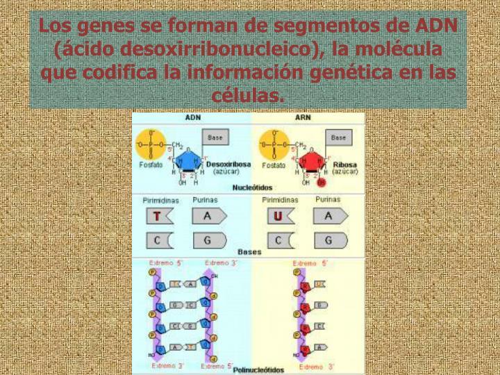 Los genes se forman de segmentos de ADN (cido desoxirribonucleico), la molcula que codifica la informacin gentica en las clulas.