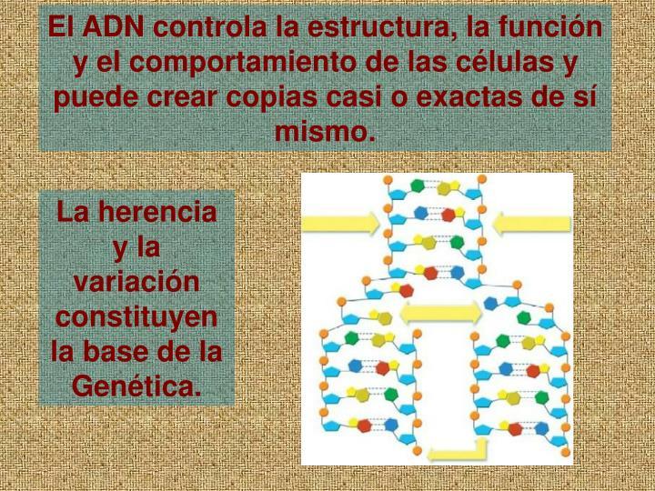 El ADN controla la estructura, la funcin y el comportamiento de las clulas y puede crear copias casi o exactas de s mismo.