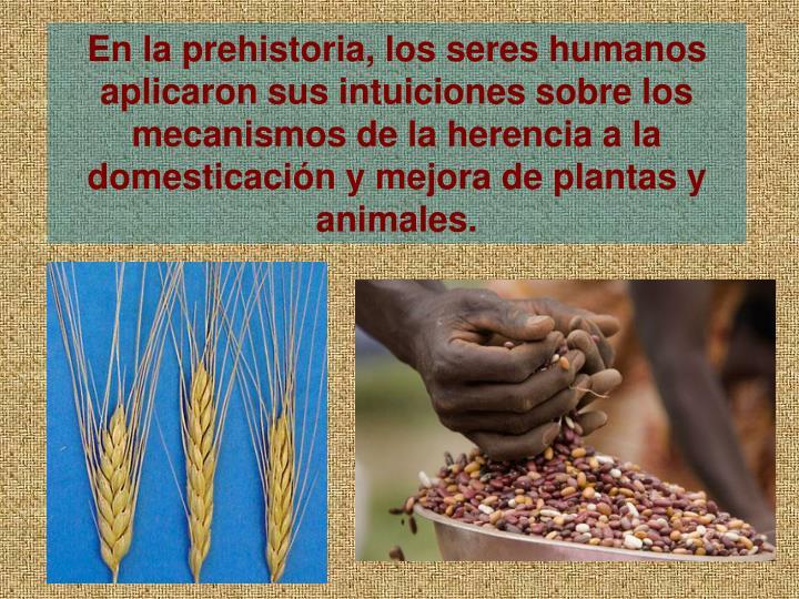 En la prehistoria, los seres humanos aplicaron sus intuiciones sobre los mecanismos de la herencia a la domesticacin y mejora de plantas y animales.