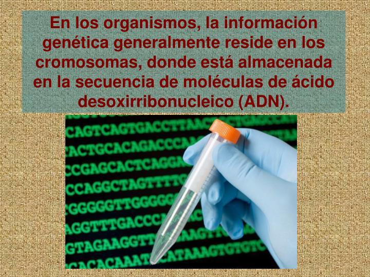 En los organismos, la informacin gentica generalmente reside en los cromosomas, donde est almacenada en la secuencia de molculas de cido desoxirribonucleico (ADN).