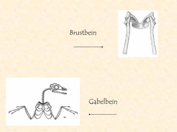 Gabelbein