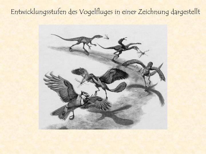 Entwicklungsstufen des Vogelfluges in einer Zeichnung dargestellt