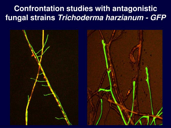 Confrontation studies with antagonistic fungal strains