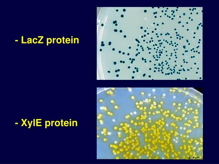- LacZ protein