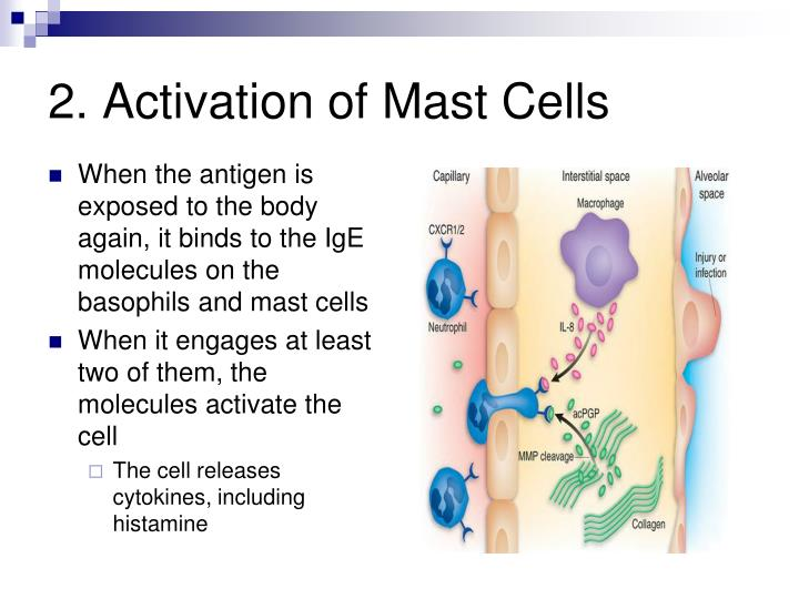 2. Activation of Mast Cells