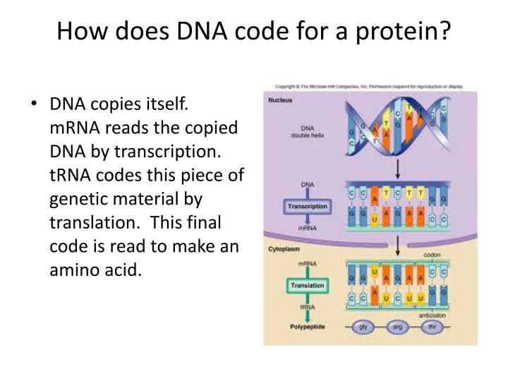 How does DNA code for a protein?