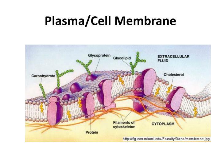 Plasma/Cell Membrane