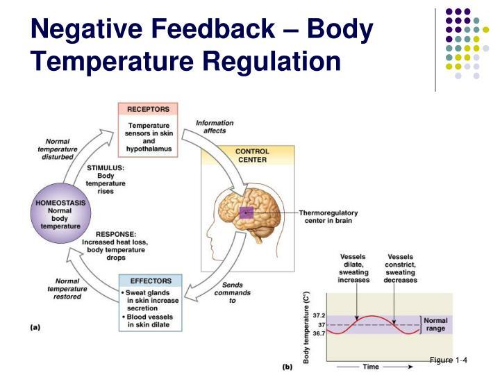 Negative Feedback – Body Temperature Regulation