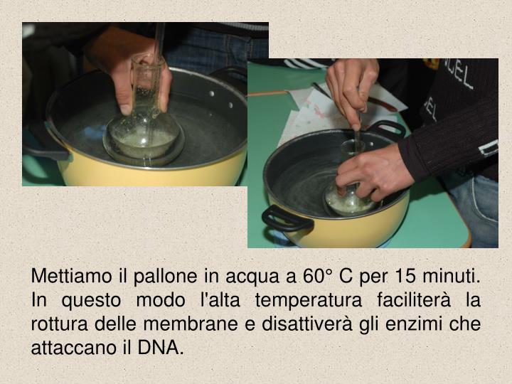 Mettiamo il pallone in acqua a 60° C per 15 minuti. In questo modo l'alta temperatura faciliterà la rottura delle membrane e disattiverà gli enzimi che attaccano il DNA.