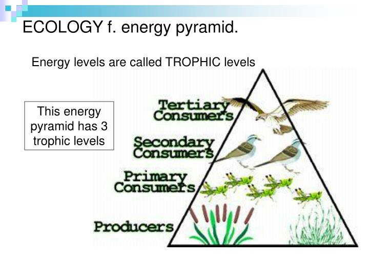 ECOLOGY f. energy pyramid.