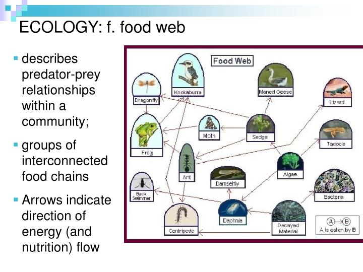 ECOLOGY: f. food web