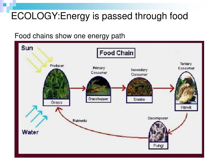 ECOLOGY:Energy is passed through food