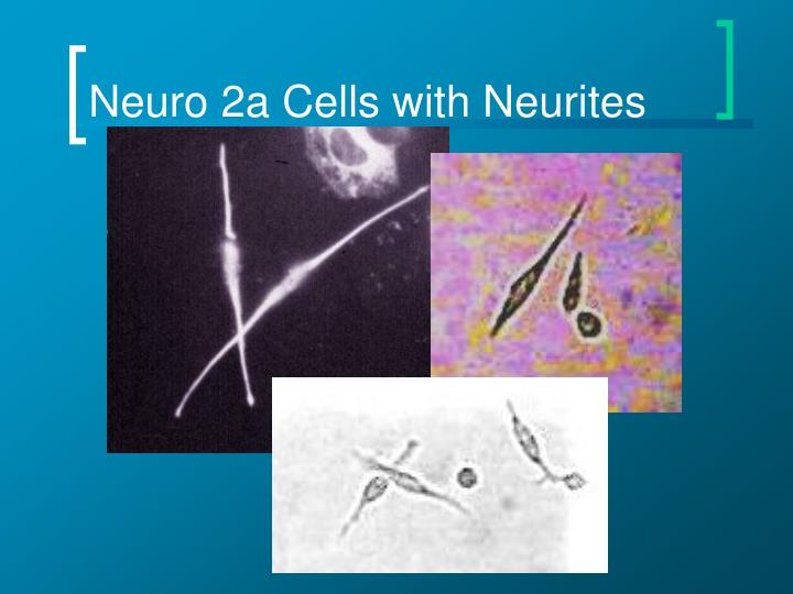 Neuro 2a Cells with Neurites