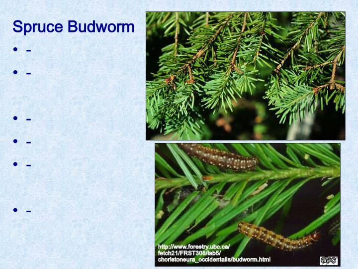 Spruce Budworm