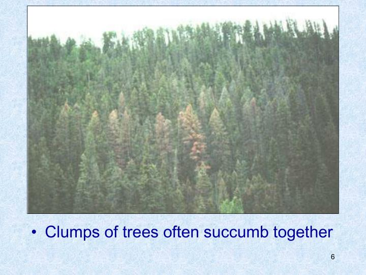 Clumps of trees often succumb together