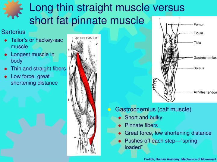 Gastrocnemius (calf muscle)
