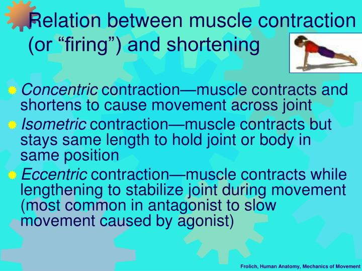 "Relation between muscle contraction (or ""firing"") and shortening"