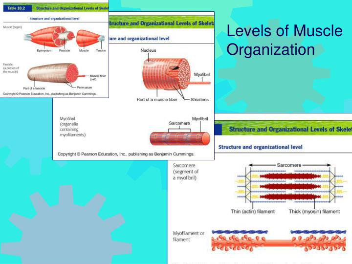 Levels of Muscle Organization