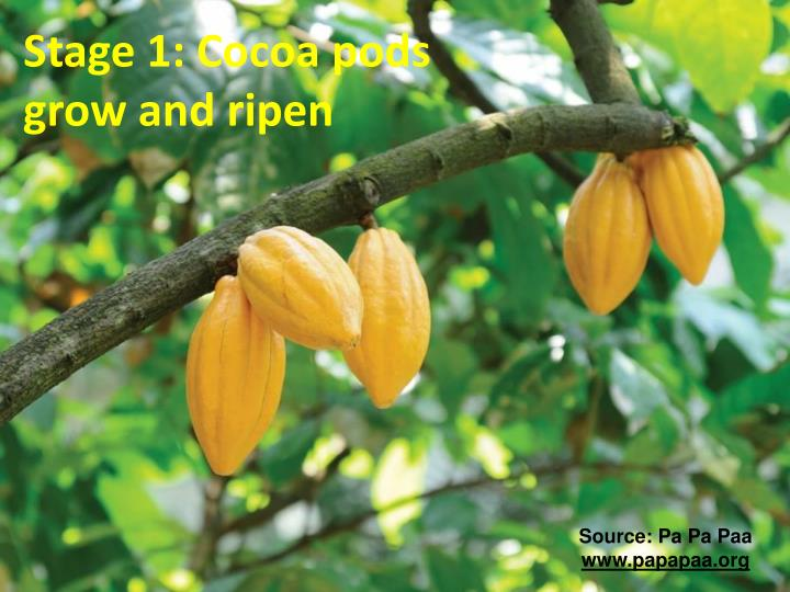 Stage 1: Cocoa pods grow and ripen