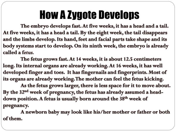 How A Zygote Develops