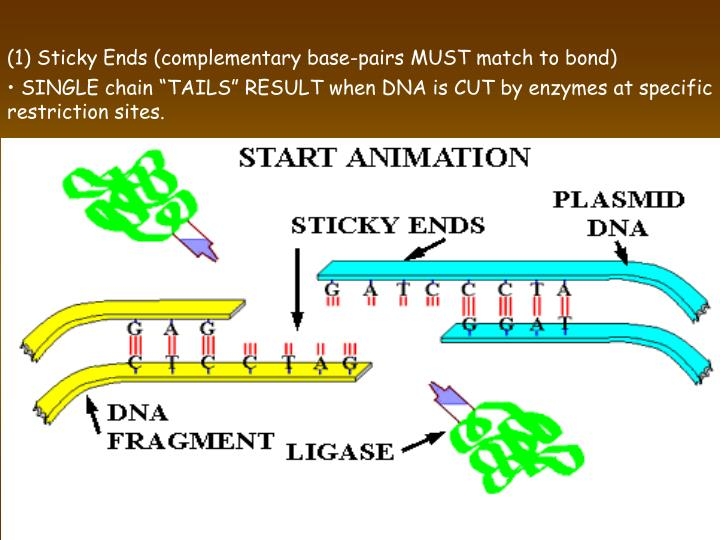 (1) Sticky Ends (complementary base-pairs MUST match to bond)