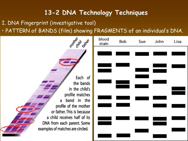 13-2 DNA Technology Techniques